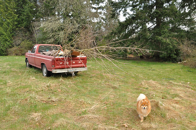March 2012  The Large Norway Red Maple in the back of the truck.