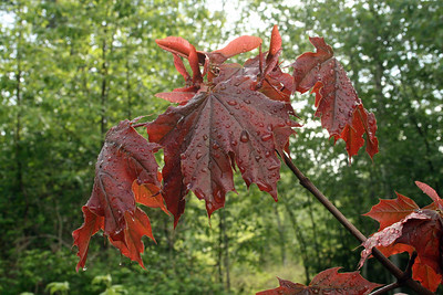 Norway Red Maple