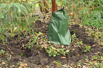 In May or June of this year I dug a trench around the tree about 4' in diameter.  This cut off quite a bit of the root system while allowing the tree to be nourished by a water bag.  We put a watering bag (Gator Bag) that holds 20 gallons of water.  The bag was filled once a week.  This soil was the richest soil I have ever seen.  NO ROCKS!  When it came time to dig this up yesterday the tree came right out of the ground.  I got rid of most of the dirt and drove it out to the farm today and planted it.