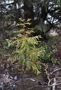 Jan & Vic's Redwood.  Started as a sapling on the roadside from an 80 year old Redwood.  Thank you Jan & Vic!