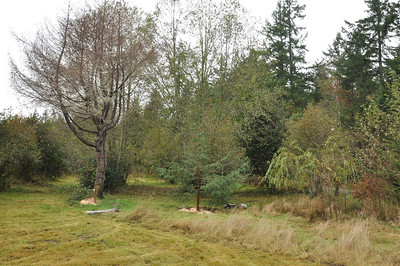 To the left a Douglas Fir kicks the bucket because of too much water... The Redwood will thrive here.  11/17/12