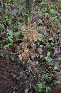 Jeri's Redwood.  Planted Jan 7, 2013.  All the limbs are still flexible and the root structure was really good.