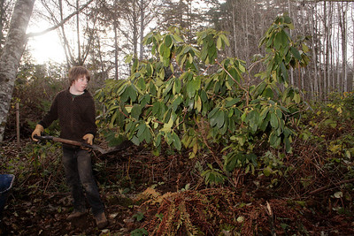 Day after Thanksgiving Jack helps me by hauling compost, mulch and water.  We planted 6 Rhododendrons.  No idea what color.  I really do not care for these in residential settings but they do look fantastic in the woods.  And you do not have to clean up after them.