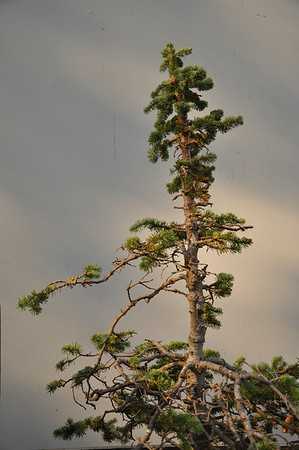 Alpine Fir.  Rescued Fall 1979 from Spirit Lake parking lot.  33 years later it is only 5' tall.  (Harry Truman)