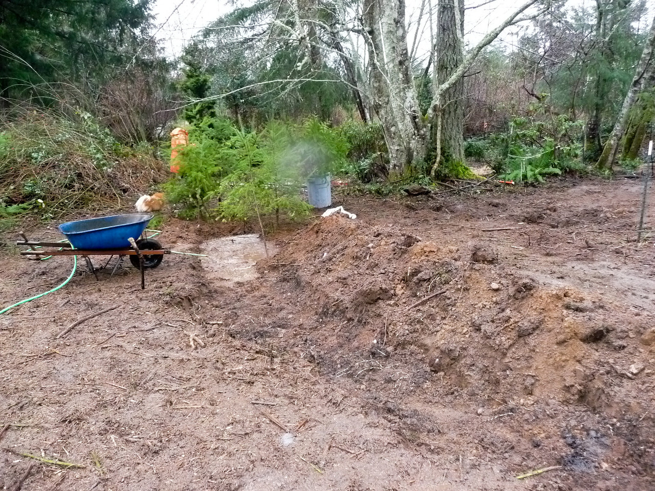 Feb 2012 I dug this trench for the fir trees taken from a Nurse Log.  I lined the trench with irrigation hose.  These will have to be thinned (transplanted) some day.