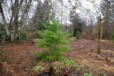 Feb  2012 Day 2 Mow down remaining Blackberries and Scotch Broom