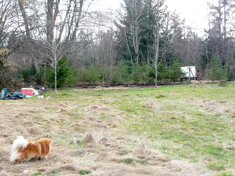 Feb 2012 Douglas Fir Hedge.  Fill with Oso, Salal and Rhododendrons.
