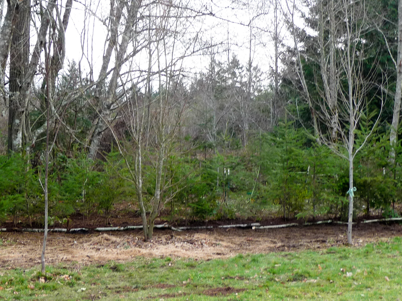 Feb 2012 Mulched with Redwood sawdust and lined with irrigation.