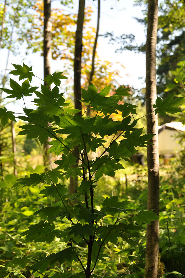July 2012  Pacific Vine Maple in its 1st Year looking really good!