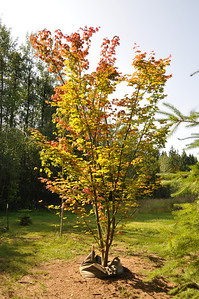 July 2012   Pacific Vine Maple with Ooze Tube Watering System