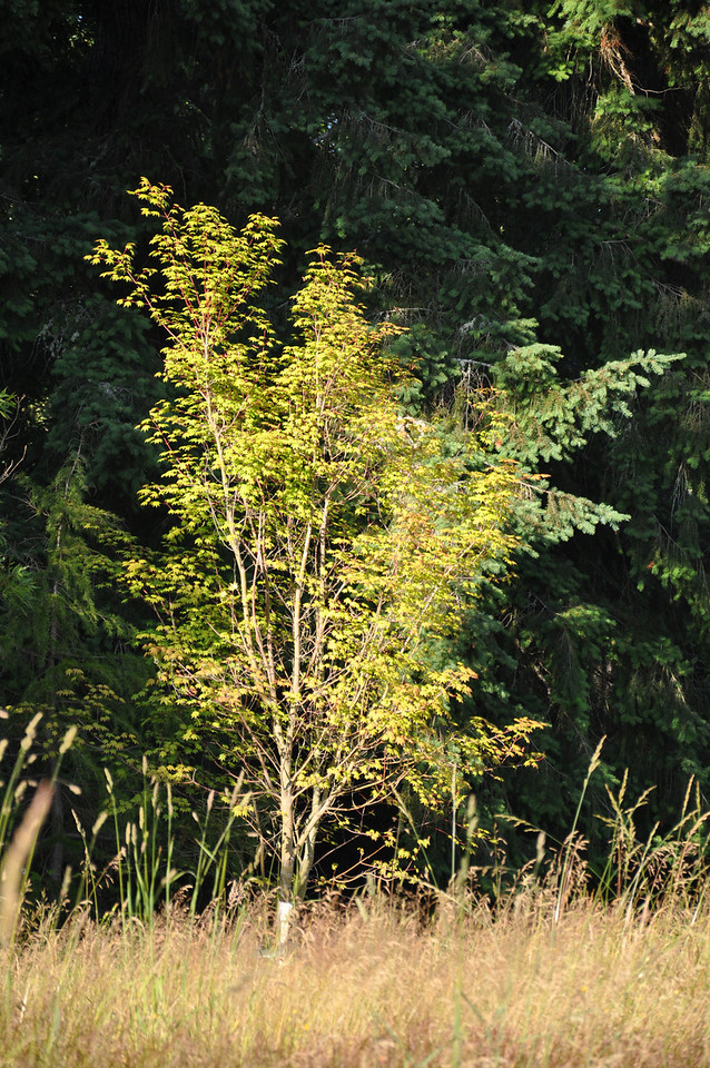 July 2012  Pacific Vine Maple  Rescued September 2011  The guy who I got this from did not want to kill these 3 beautiful Pacific Vine Maples.  He was thrilled I wanted them.  He planted a grove of fruit trees so that he could can fruit.