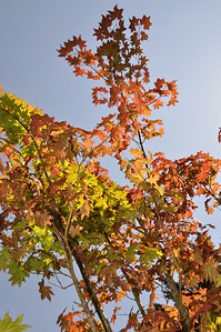 July 2012.  These Pacific Vine Maples were rescued last fall in September.  Spectacular Color on this one!