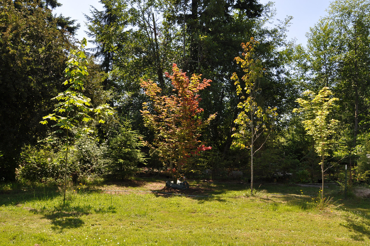 July 2012  Left to Right:  Large Leaf Maple, Pacific Vine Maple, Brandy Wine Maple & Brandy Wine Maple.  All planted 2010 & 2011.  To the far right... the West Entrance to the trail.