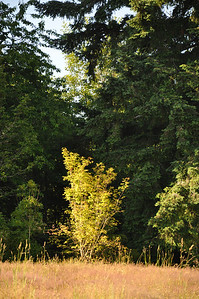 July 2012  Pacific Vine Maple.  Late afternoon at the South of property.
