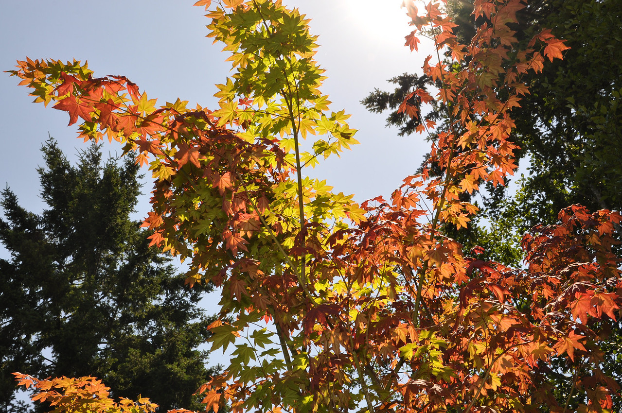 Pacific Vine Maple  Early July 2012.  Year 1 of transplant.