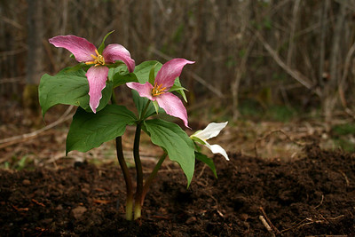 Trillium.  In the beginning there was cutting down of many blackberries and then plantings of a few Trillium.  I did things to maintain the property that did not cost very much.