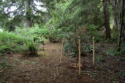 Clearing out more bramble you find a lot of ferns.  I planted some Trillium Flower here also.