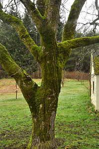 Nice coat of moss on the Walnut tree.