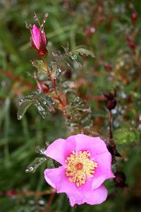 Wild Rose.  These are so plentiful and beautiful.  In the winter they leave behind giant rose hips.