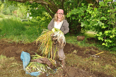 Planting hundreds of Daffodil Bulbs.
