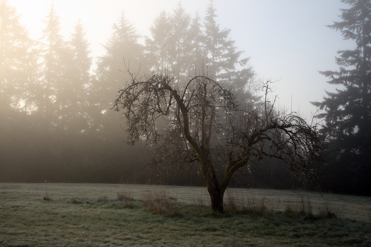 Old Pear Tree early in the morning.