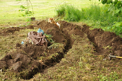 I dug a few trenches for several hundred Daffodils.  Diego has fun in the dirt.