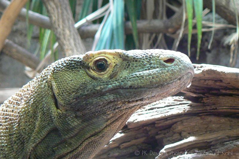 Komodo Dragons can be nasty critters. They can eat a whole goat in a short time, and have been known to attack small children, and adults foolish enough to roll around in dead goat...