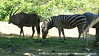 Those Zebra's are some roly-poly, pudgy little horses, aren't they?