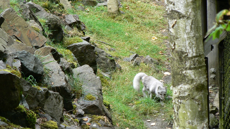 My first glimpse of an Arctic Fox was enthralling - they're playful, and zippy fast! And very fluffy!