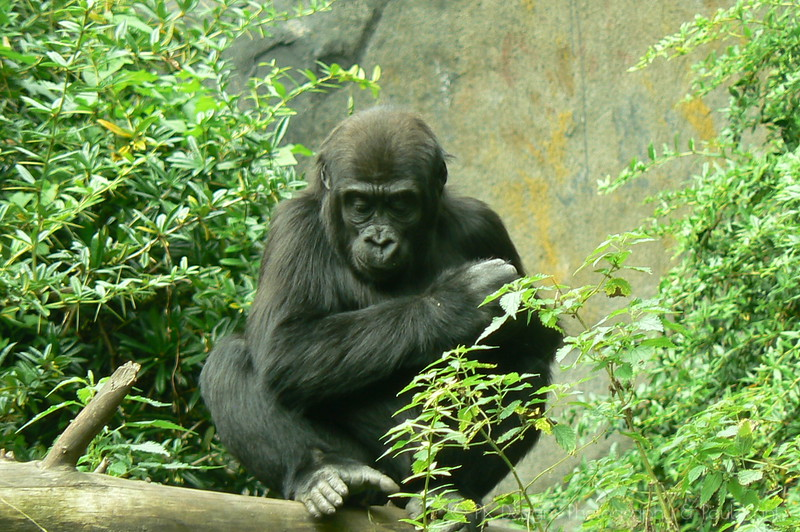 An introspective moment for a young gorilla - is he contemplating Time and Space? The laws of Gravity? Is he perhaps doing random word association in his head while staring at the plat life in front of him? We may never know.