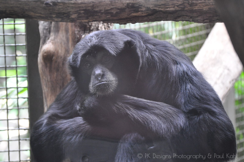 Sad Siamang - but he could go outside any time!