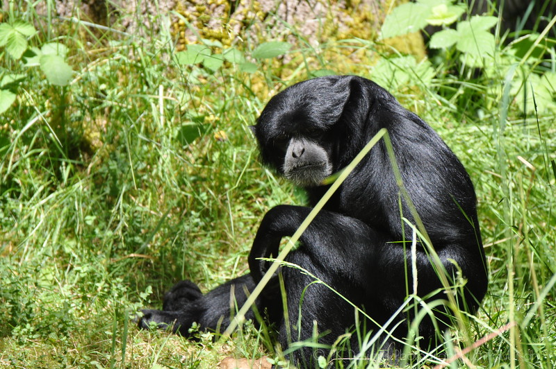 A rare Siamang outdoor shot. Normally this guy is behind glass.