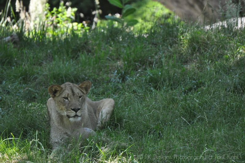 The lions at the WPZ are such a sad story. Read up on them some time in the WPZ blog.