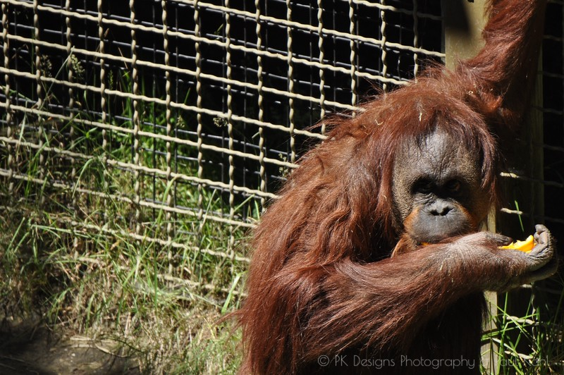 Orangutan's loves them some oranges!