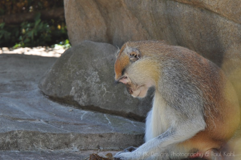 Kyle is a Patas Monkey who very recently was the recipient of an amuptation. His right arm was removed at the shoulder to save his life from a severe blood infection. This is the first picture I got of him after the operation. More follow.