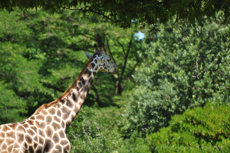 Giraffe at WPZ
