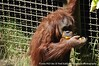 They feed the Orangutans through the mesh down in the habitat - very friendly group.