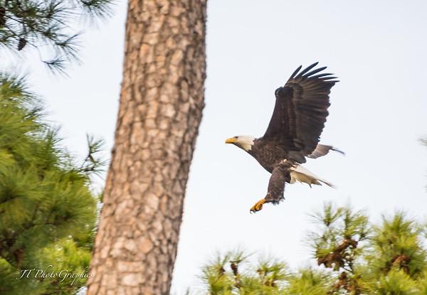Woodlands Eagles D800-15-227