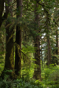 Old growth Sitka Spruce trees, Hoh Rain Forest, Olympic National Park, WA