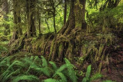 Nurse Log, Hoh Rain Forest, Olympic National Park