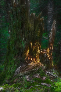 Light in the Forest, Olympic National Forest
