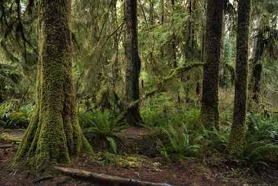 Quinault Rain Forest, Washington (Olympic National Forest)