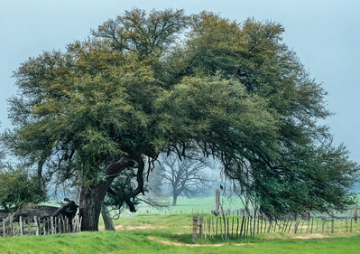 Live oak tree at fence line junction, Falls County, Texas