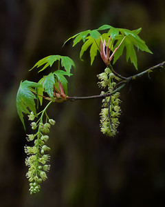 New leaf growth and catkins, Big Leaf Maple, Olympic National Park, WA
