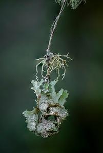 Lichen on alder limb