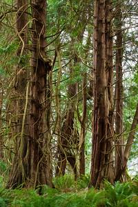 Western Red Cedar, Salt Creek Park, Washington