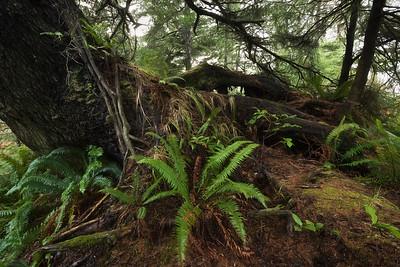 Costal woodland scene, Kalaloch, Washington (Olympic National Park)