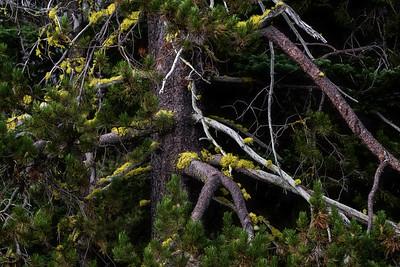 Pine Tree detail, Goat Rocks Wilderness, Cascade Range, Washington