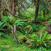 Coastal Rain Forest, South Fork Hoh, Olympic National Park, Washington