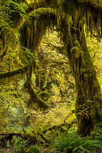"""Hall of Mosses"", Hoh Rain Forest, Olympic National Park"